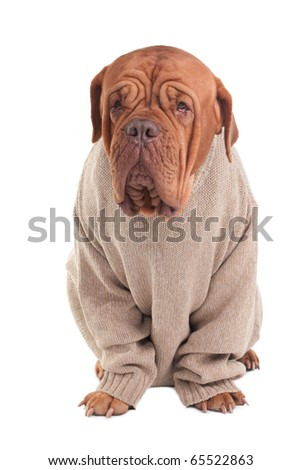 Serious dogue de bordeaux wearing a sweater