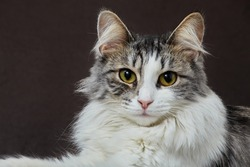 serious fluffy cat lying on sofa looking at camera closeup portrait