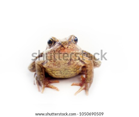 Serious frog. Silent frog with tightly closed mouth (not croak, kept mum) on white background. Concept of silence (silence is golden) #1050690509