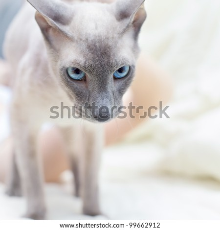 serious hairless oriental wanna destroy it all