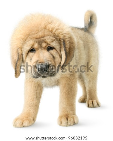 Serious puppy Tibetan mastiff looking straight in camera isolated on white