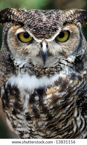 Seriously charming Great Horned Owl