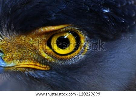 Serpent-Eagle close-up face.(Spilornis cheela) - stock photo