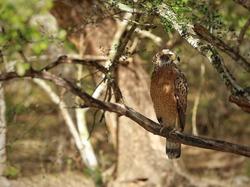 Serpent Eagle, Crested Serpent Eagle