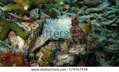 Stock Photo serpulid worm that found on seafloor at coral reef area around Bidong Island, Malaysia