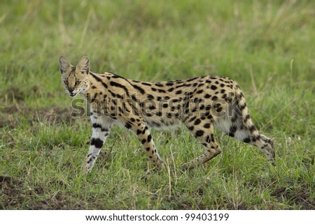 Serval cat (Felis serval) walking in Kenya's Masai Mara - stock photo
