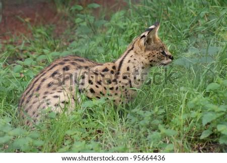 Serval - Felis Serval
