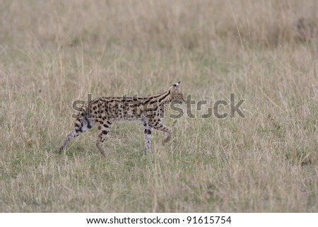 Serval in the Masai Mara, Kenya