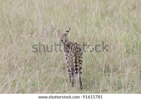 Serval in the Masai Mara, Kenya