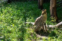 Serval spotted african wild cat
