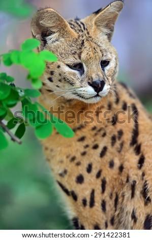 Serval Wild Cat in the African savanna