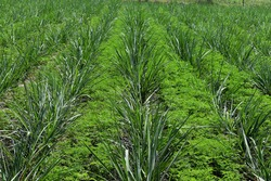 Sesbania rostrata plant are intercropping with sugarcane crop. Sesbania rostrata leaves are used as Green manure. It is best example of Organic cultivation farming. mixed crop, crop rotation concept.