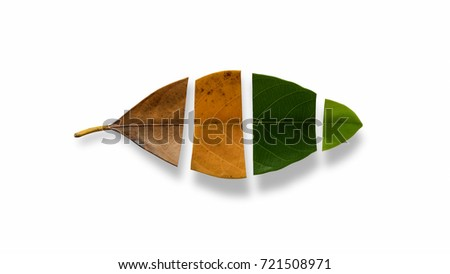 Set Autumn Color leaves on white background with clipping path, Leaves of jackfruit.