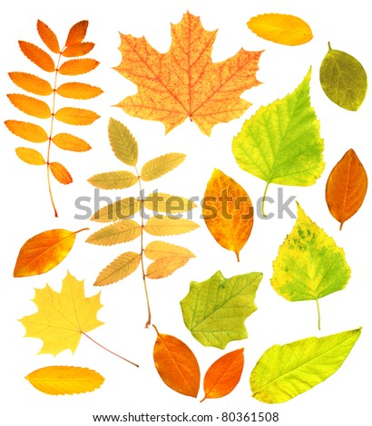 Set - autumn leafs of a birch, maple and barberry