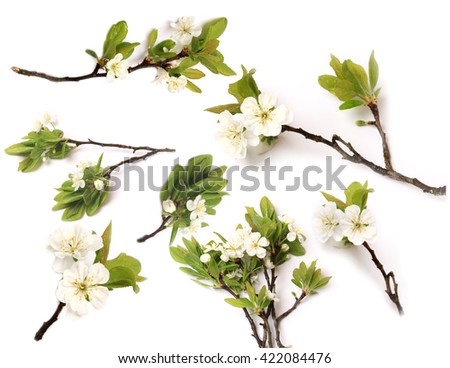 Set branch apple plum pear tree blooming isolated on white background top view of a flat lying #422084476