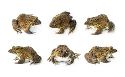 Set Chinese edible frog, East Asian bullfrog, Taiwanese frog (Hoplobatrachus rugulosus) with breeding husbandry is economic animals in agriculture of Thailand. isolated on white background.