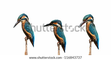 Set Common Kingfisher isolated on white background, alcedo atthis