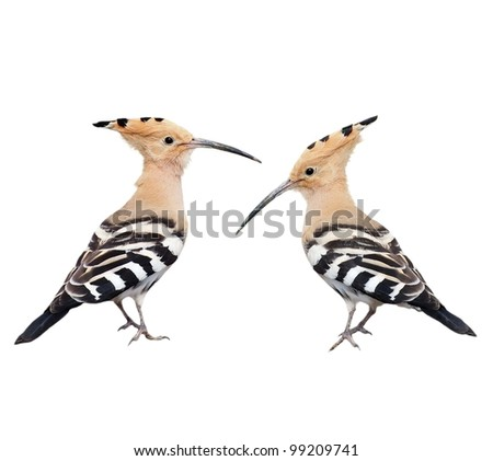 Set Eurasian Hoopoe isolated on white background, Upupa epops