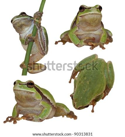 Set European tree frog isolated on white background, Hyla arborea