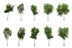 set Green big tree isolated on white background. Nature object cutout for design. collection Black wattle ( Acacia auriculiformis ) in  tropical rainforest. greenery leaves and trunk growth in spring