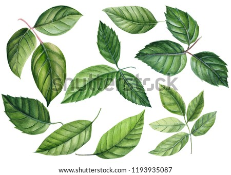 set green leaves of a rose on an isolated white background, watercolor illustration, botanical painting