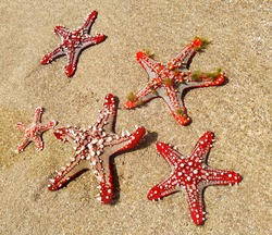 Set (group) of a beautiful red starfishes is on the summer beach in ocean water. Summer time. Kenya, Africa.