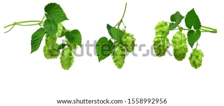 Set - hop cones. Medical plant. Close-up of green ripe hop cones. Green hop conesisolated on white background without shadow. Hops cones or strobiles of the hop plant Humulus lupulus. beer ingredient