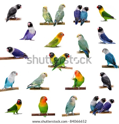 Set Lovebirds isolated on white (Agapornis) - stock photo