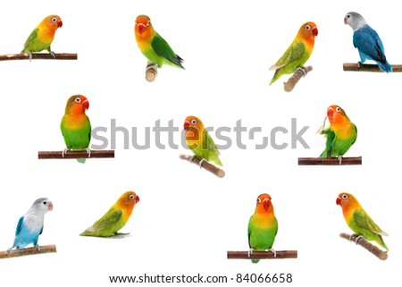 Set Lovebirds isolated on white Agapornis fischeri (Fischer's Lovebird) - stock photo