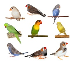 Set Lovebirds, Yellow canary, Zebra Finch, Budgerigar, Rose ringed parakeet,  isolated on white background with clipping path