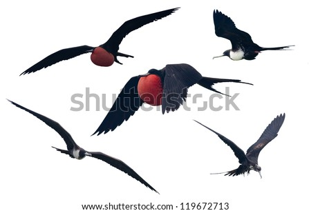 Set of a Great Frigatebird isolated on white.