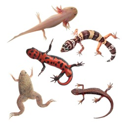 Set of amphibians and reptiles isolated on white background