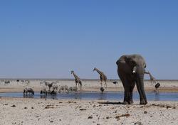 Set of animals drinking in a watherhole in Etosha Namibia. Elephant, giraffes, zebras, wildebeest and deer coexisting in harmony.