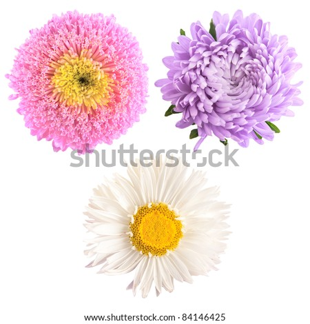 set of aster flowers isolated on white