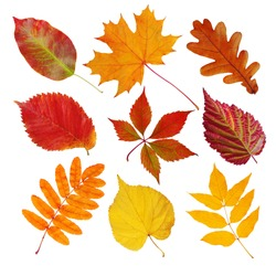 Set of autumn leaves (maple, wild grapes, elm, linden, oak, chestnut tree, rowan, pear) isolated on white