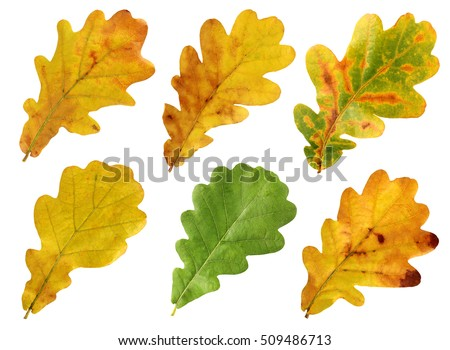 Set of autumn leaves of oak isolated on white background. #509486713