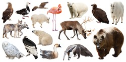 Set of bear and other North American animals. Isolated on white background