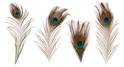 set of beautiful and colorful peacock feathers isolated on white background