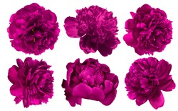 Set of beautiful burgundy purple peony flowers blossom isolated on white background. Shallow depth. Soft pastel toned. Floral springtime. Copy space.