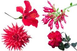 Set of beautiful different red flowers isolated on a white background. Bastard Jasmine (Cestrum elegans), dahlia, hibiscus, camellia.