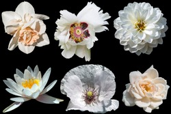Set of beautiful different white flowers isolated on a black background. Tree peony, dahlia, water lily, poppy, narcissus, rose.