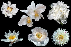 Set of beautiful different white flowers isolated on a black background. Tree peony, dahlia, water lily, poppy, orchid, peony.