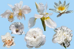 Set of beautiful different white flowers isolated on a blue background. Poppy, water lily, peony, orchid, narcissus, rose, iris.