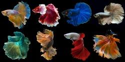 Set of beautiful eight betta fish, Collection in varies movement of multi color Siamese fighting fish, Halfmoon betta (Rosetail), Rhythmic of betta splendens isolated on black background.
