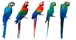 Set of beautiful macaw birds isolated on white background, blue and gold, green-winged, scarlet, buffon's and harlequin