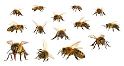 Set of bee or honeybee in Latin Apis Mellifera, european or western honey bee isolated on the white background