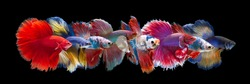 Set of Bettafish on black background.Capture the moving moment of siamese fighting fish isolated on black background