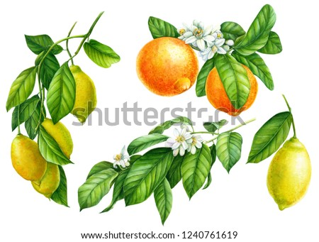 set of branches with lemons, green leaves, flowers, collection of citrus fruits on an isolated white background, watercolor illustration, botanical painting