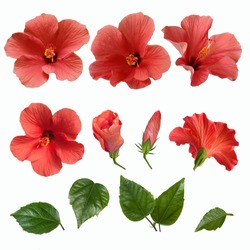 set of bright large pink hibiscus flowers buds and leaves isolated on white background