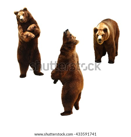 Set of brown bears. Isolated on white background. #433591741